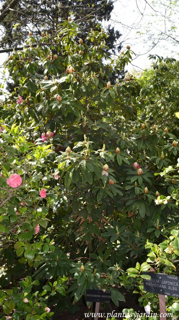 Rhododendron arboreum en flor, a comienzos de la primavera, nativo del sudeste de Asia.