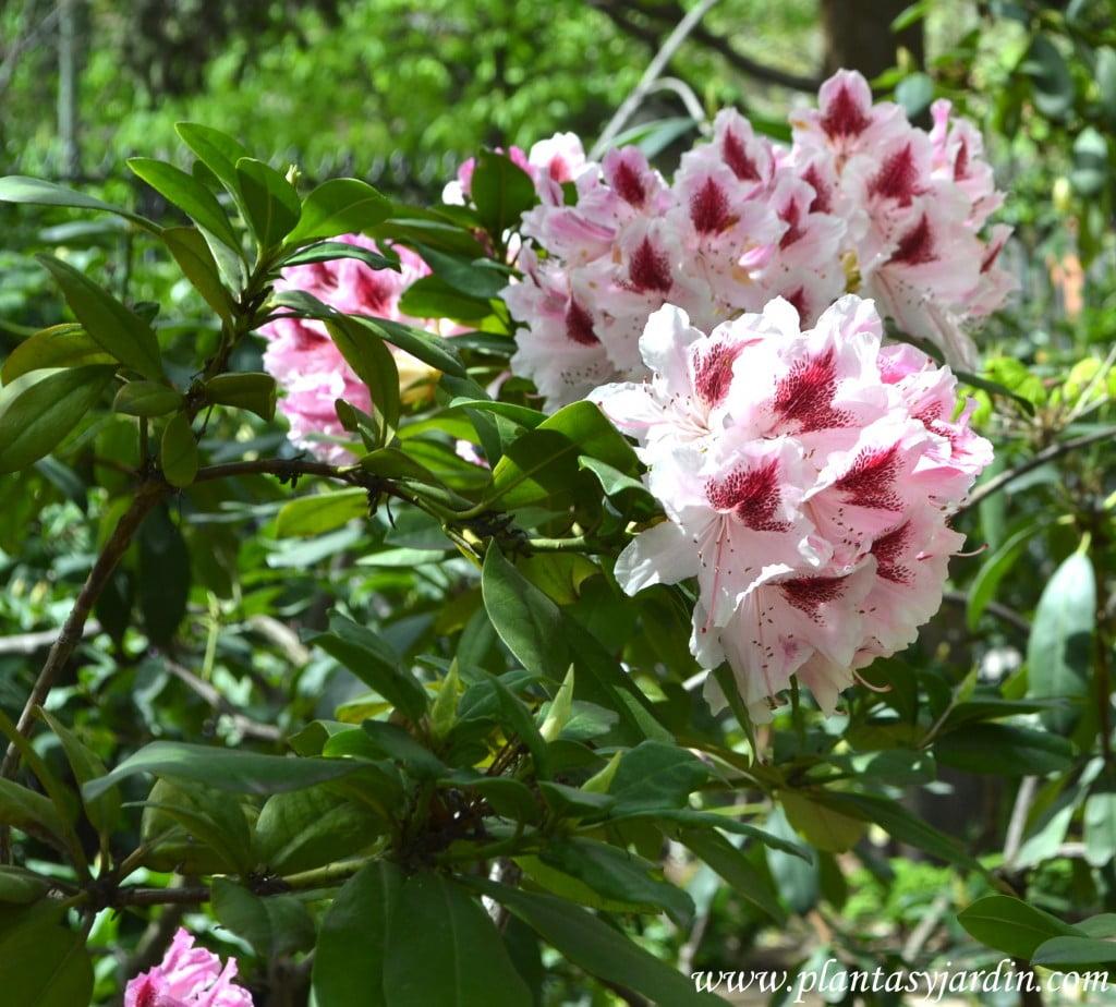 Rhododendron cosmopolitan, detalle de follaje & flores.