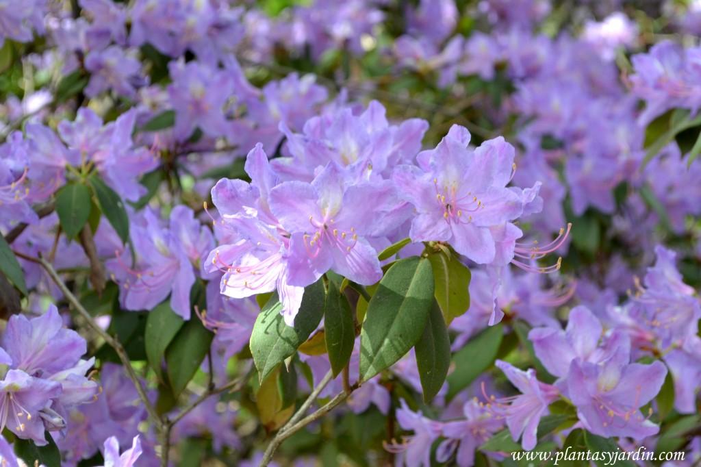 Rhododendron luteum, detalle de floración.