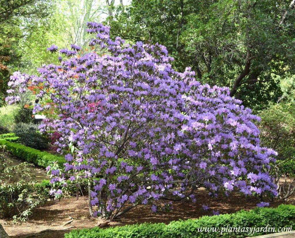 Rhododendron luteum, florecido a comienzos de primavera.