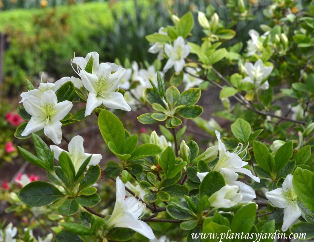 Rhododendron x obtusum, detalle flor & hoja.