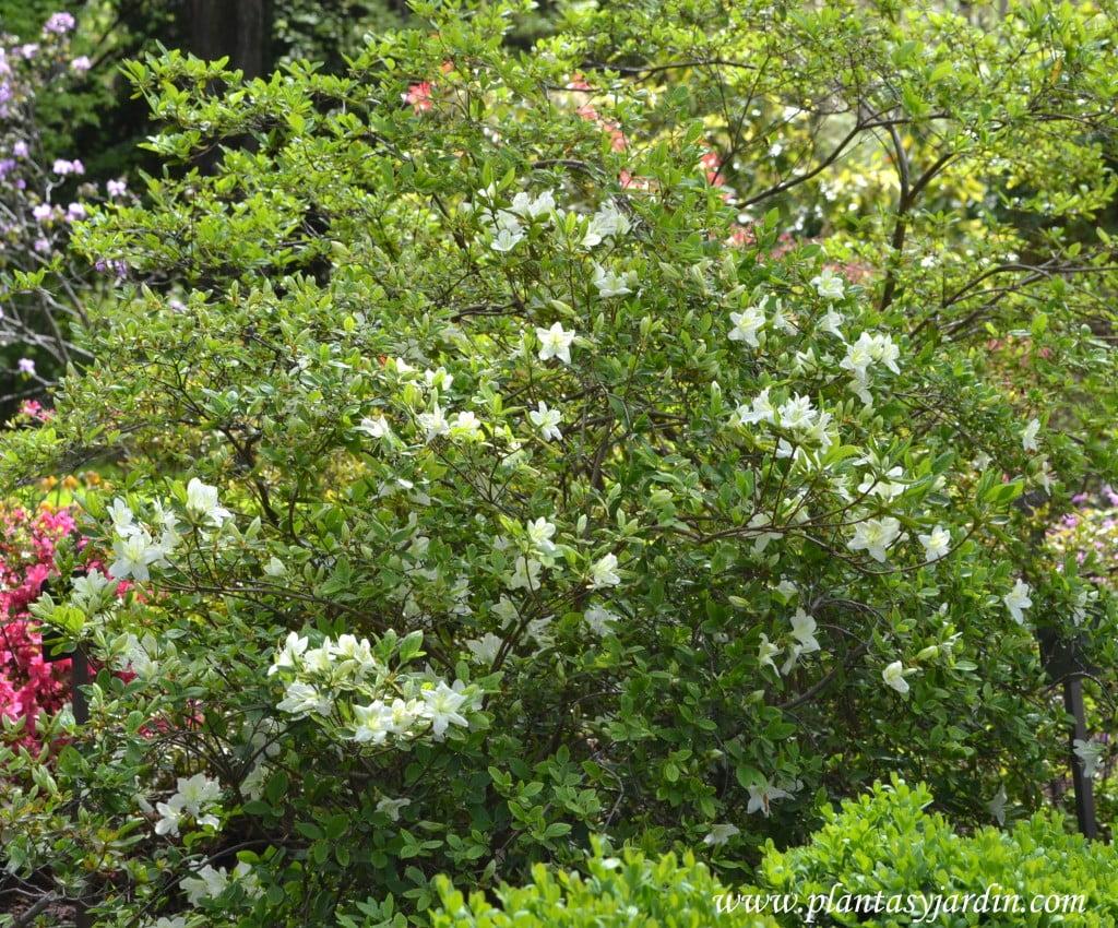 Rhododendron x obtusum en primavera.