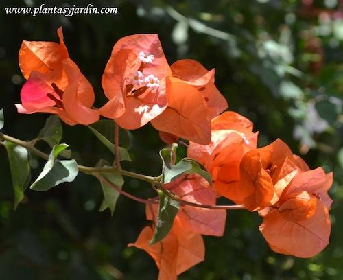 Santa rita con brácteas naranjas, se pueden observar las diminutas flores blancas.