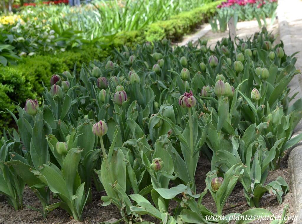 "Tulipa ""Antracite""."
