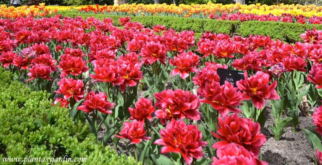 """Tulipa """"Electra"""" en primavera."""