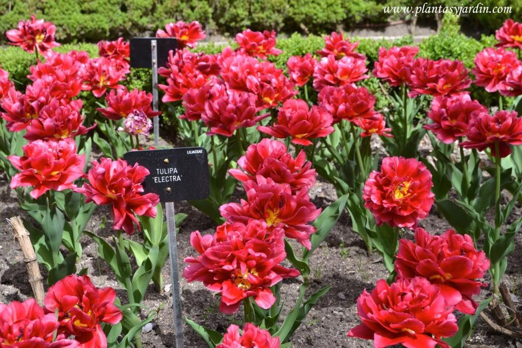 """Tulipa """"Electra""""."""