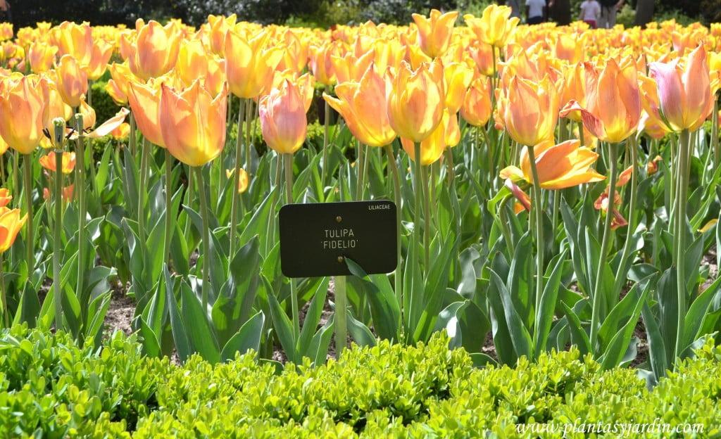 """Tulipa """"Fidelio"""" detalle tallo y follaje."""