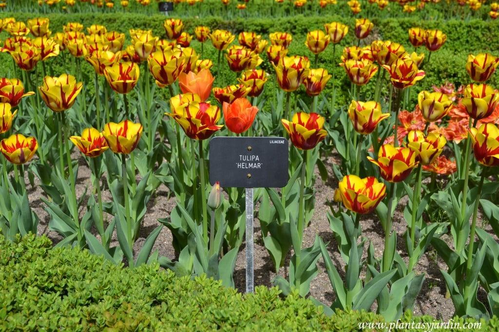 """Tulipa """"Helmar"""" cultivada en parterre."""
