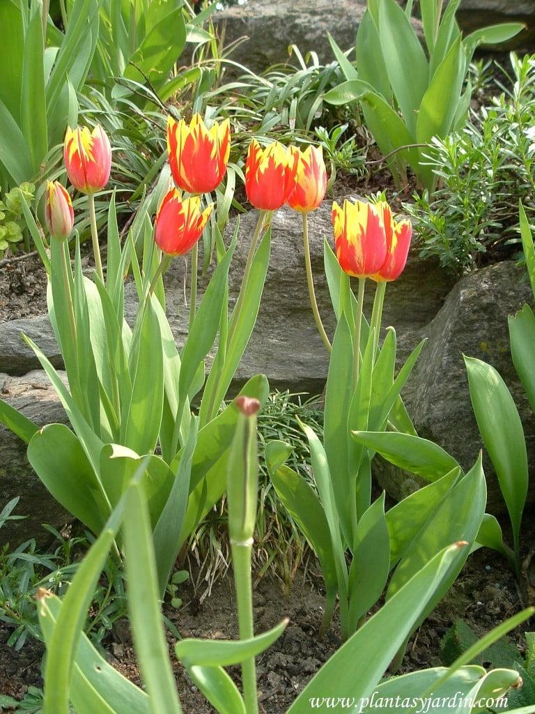 Tulipanes cultivados en jardin con desnivel rocoso.
