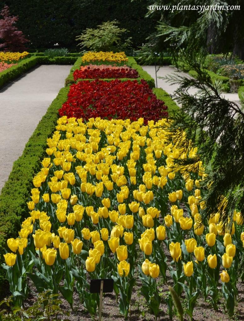 Tulipanes, en parterres.