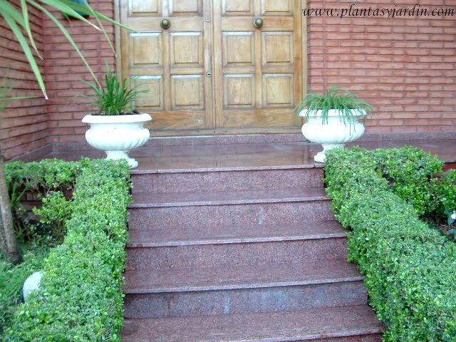entrada con seto de Buxus sempervirens