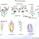 Inflorescencias