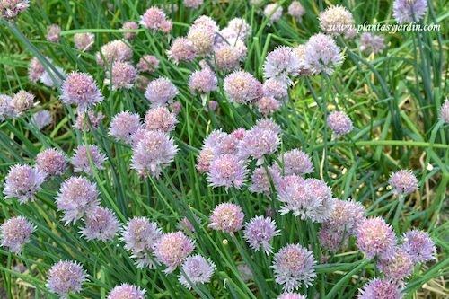 Allium schoenoprasum-Cebollino francés-Ciboulette, detalle de cabezuelas florales.