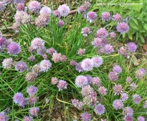 Allium schoenoprasum-Cebollino detalle de pequeñas flores rosa-violáceas