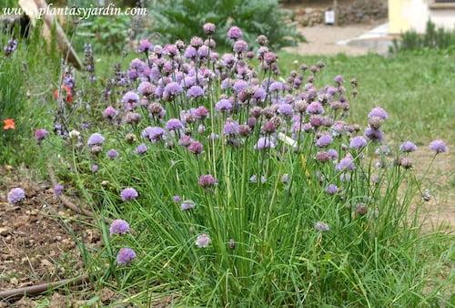 Allium schoenoprasum florecido a finales de la primavera