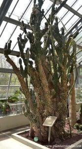 """Cereus uruguayanus """"Monstrosus"""" cultivado en invernadero, nativo del norte argentino y S.E. brasilero"""