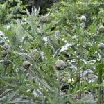 Cynara scolymus-Alcachofa-Alcaucil, con cabezuelas en la planta, primavera.
