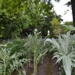 Cynara scolymus-Alcachofera, cultivado en hileras.