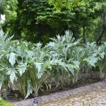Cynara scolymus-Alcachofera, plantación en hilera.