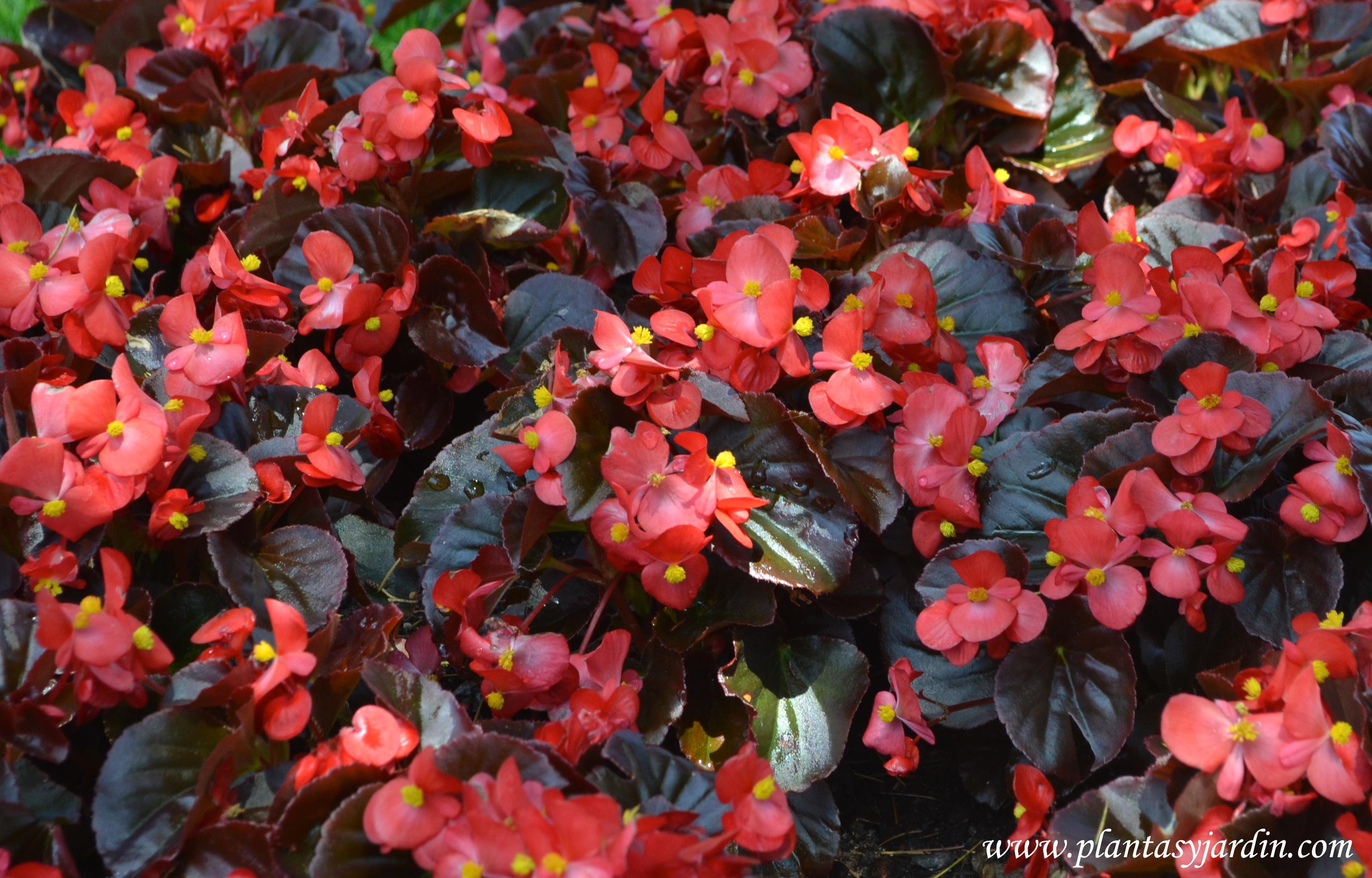 Begonia semperflorens-Flor de azúcar florecida en plena primavera