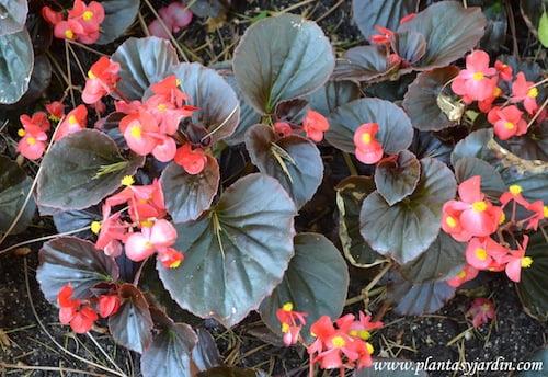 Begonia semperflorens-Flor de azucar detalle follaje