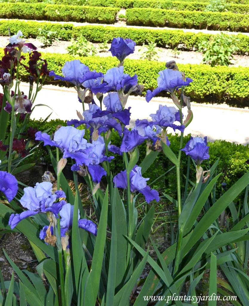 "Iris ""Proud tradition""."