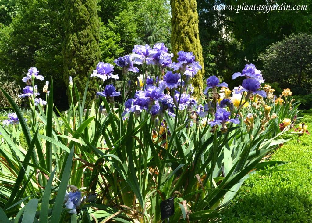 "Iris ""Tour de France"" con hojas"
