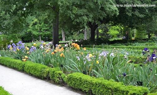 Iris cultivados en parterre.