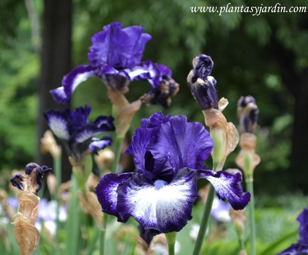 Iris oreo-Iridáceas.
