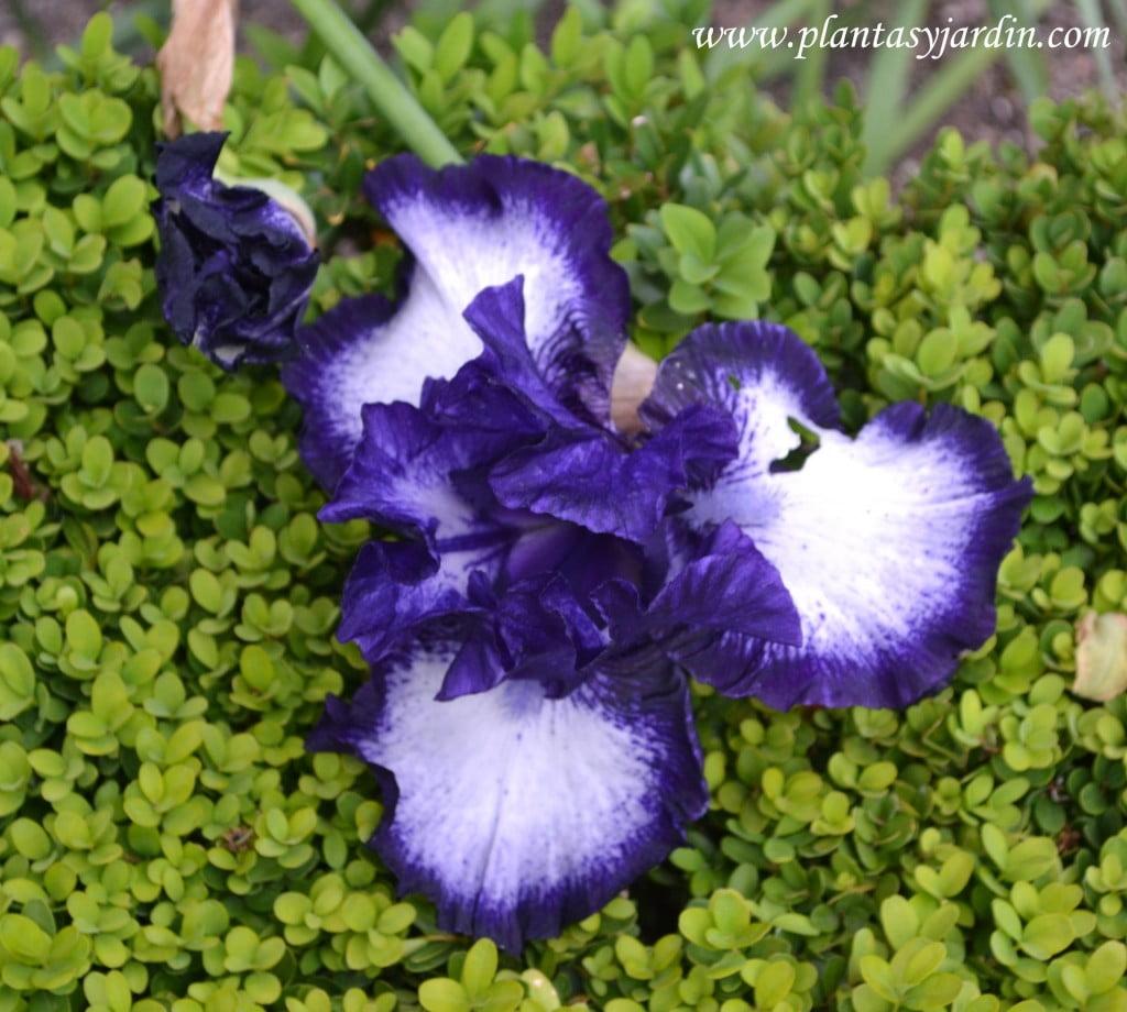 Iris oreo, detalle flor.