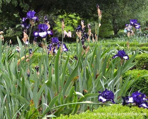 Iris oreo florecido en primavera.