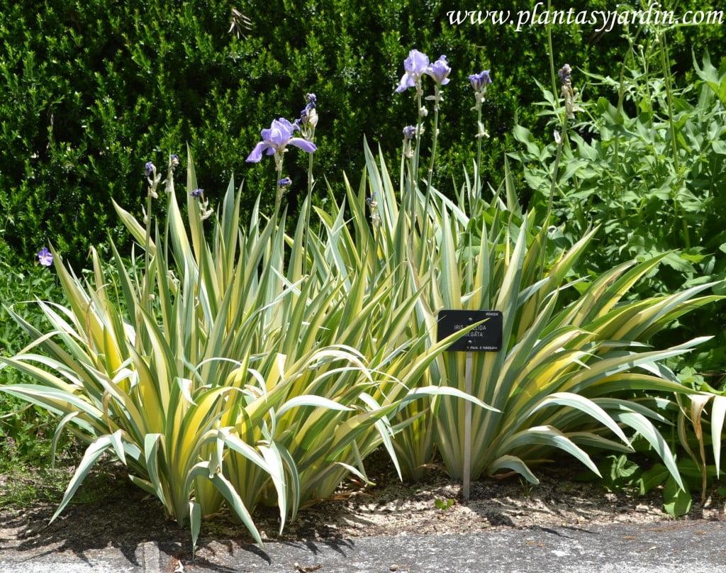 """Iris pallida """"Variegata"""" florecida en la primavera."""