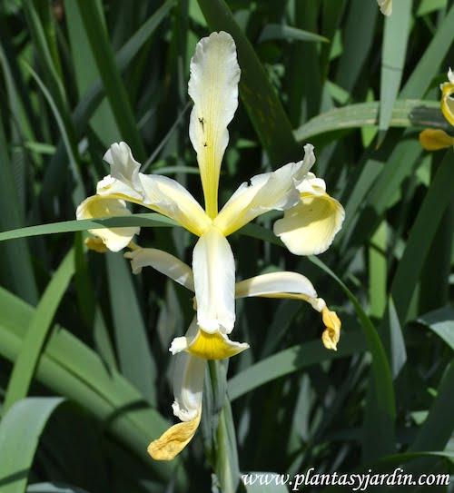Iris spuria, detalle flor.