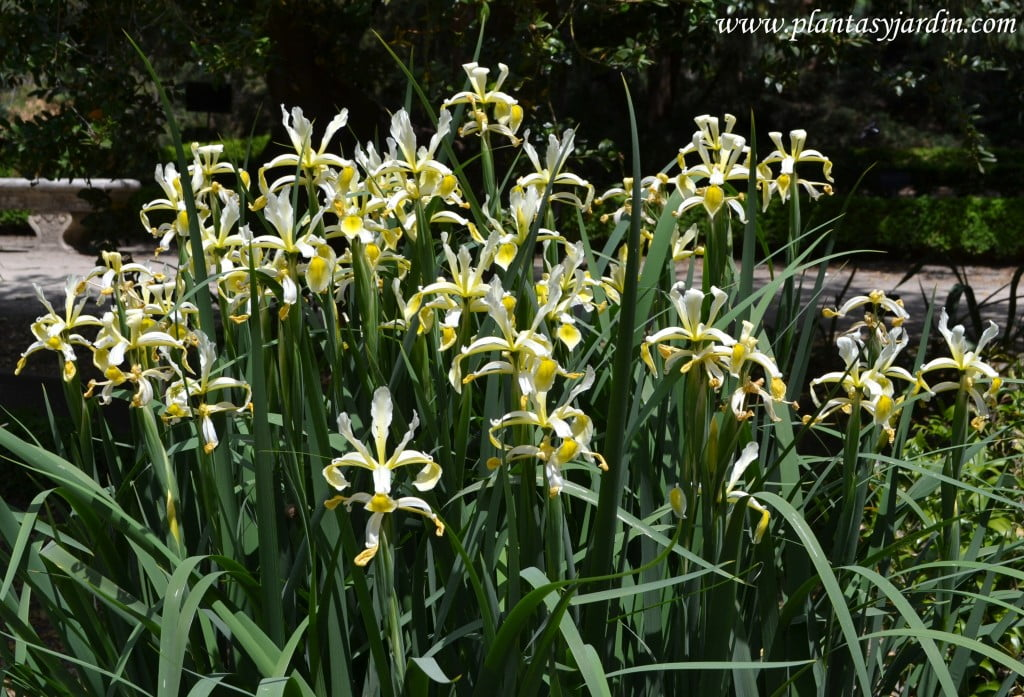 Iris spuria, florecida en plena primavera.