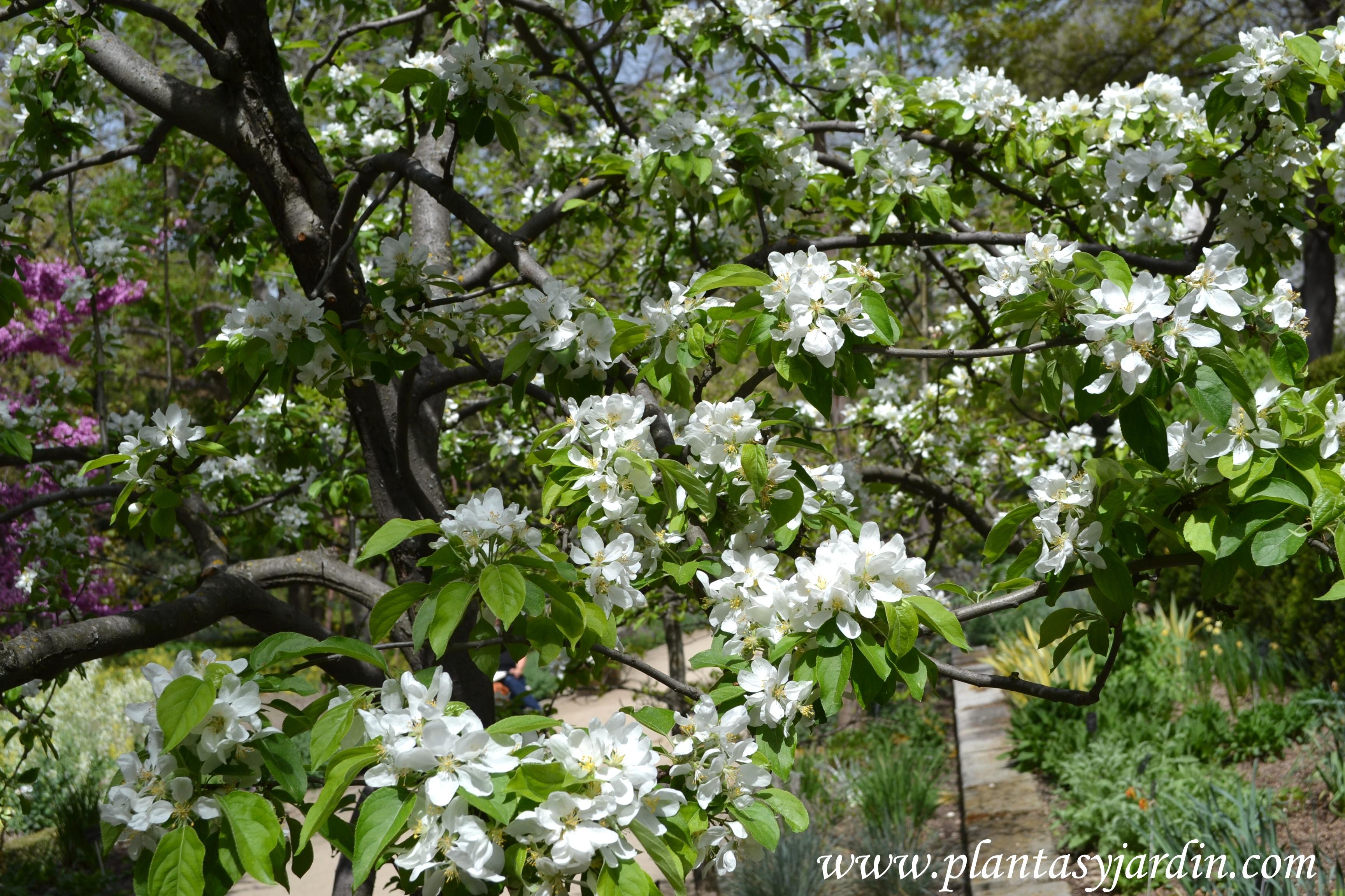 Malus floribunda-Manzano floreciente, en plena primavera