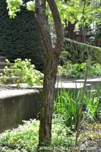 Malus floribunda, detalle tronco.