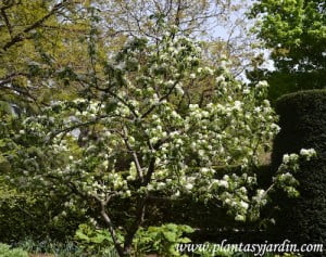 Malus floribunda, florecido a comienzos de la primavera.