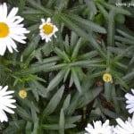 Bellis perennis-Margarita común, detalle follaje