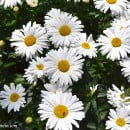 Bellis perennis-Margarita comn-Chirivita-Vellorita