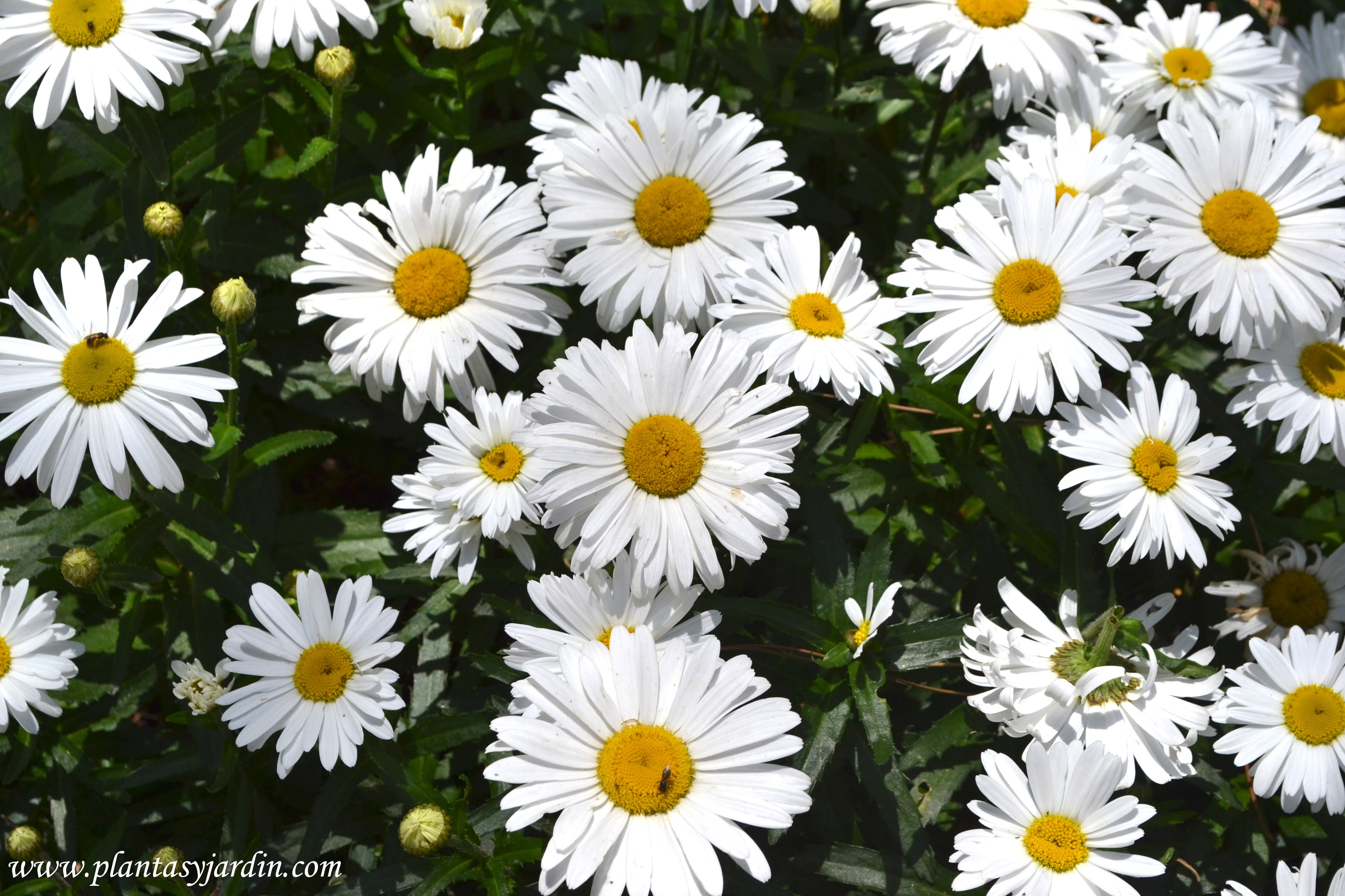 Bellis perennis- Margarita común, florecida en plena primavera