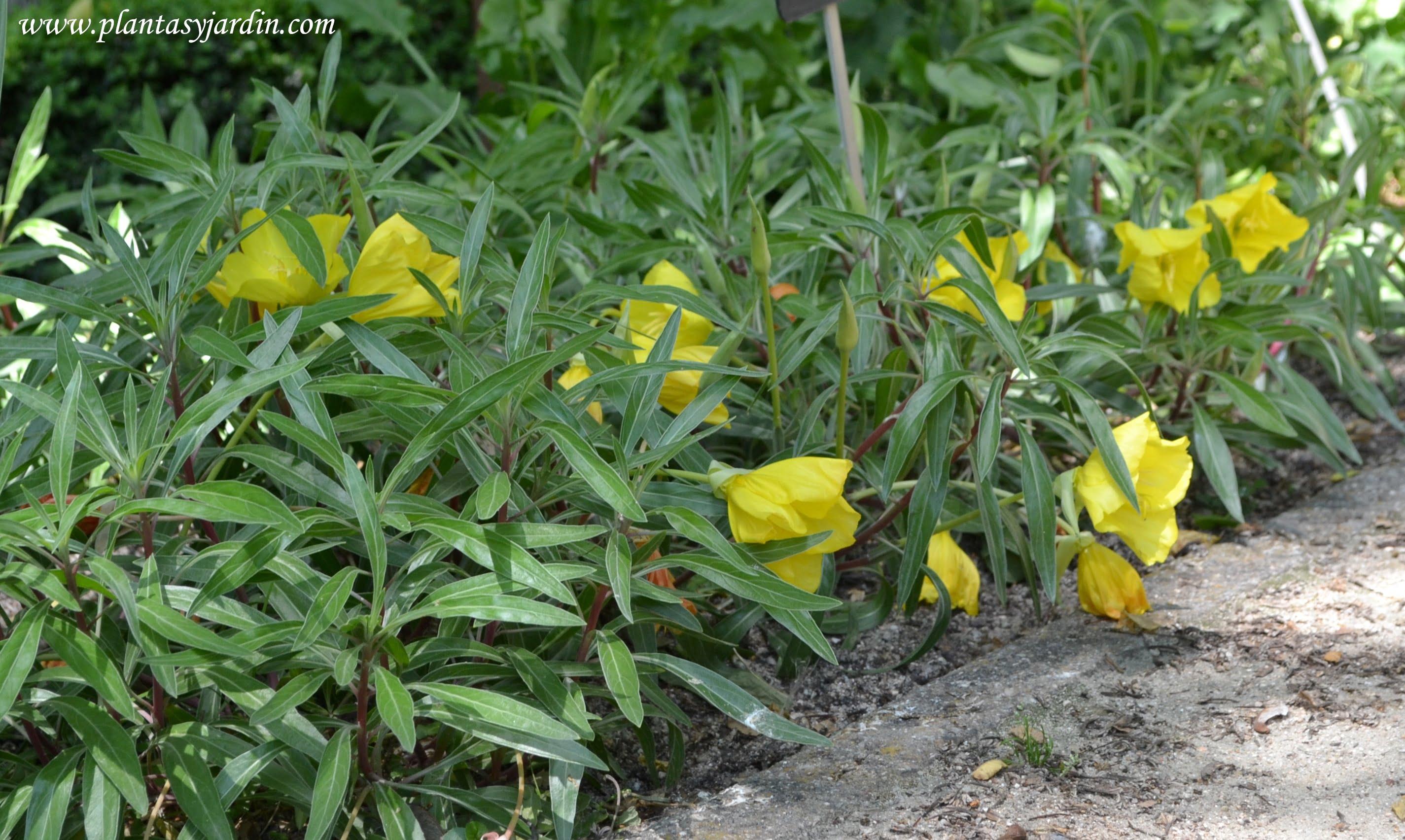 Oenothera missouriensis, florecida en primavera