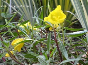 Oenothera missouriensis, la flor de Onagra. Nativa de Estados Unidos