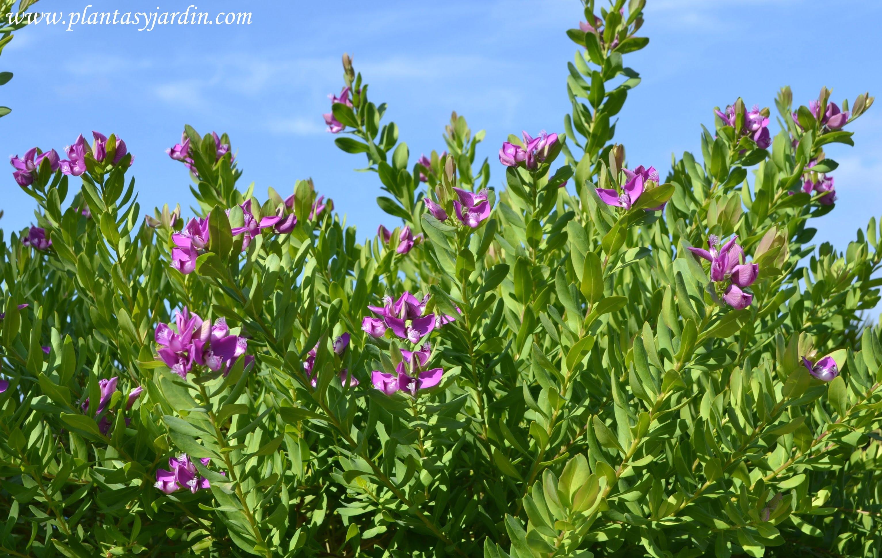 Polygala, florecida en plena primavera