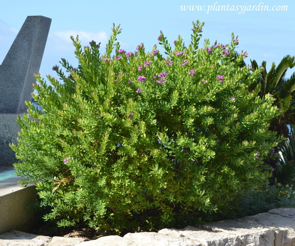 Polygala, florecido a finales de la primavera