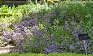Salvia officinalis-Saliva, florecida en plena primavera