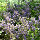 Salvia officinalis-Salvia común