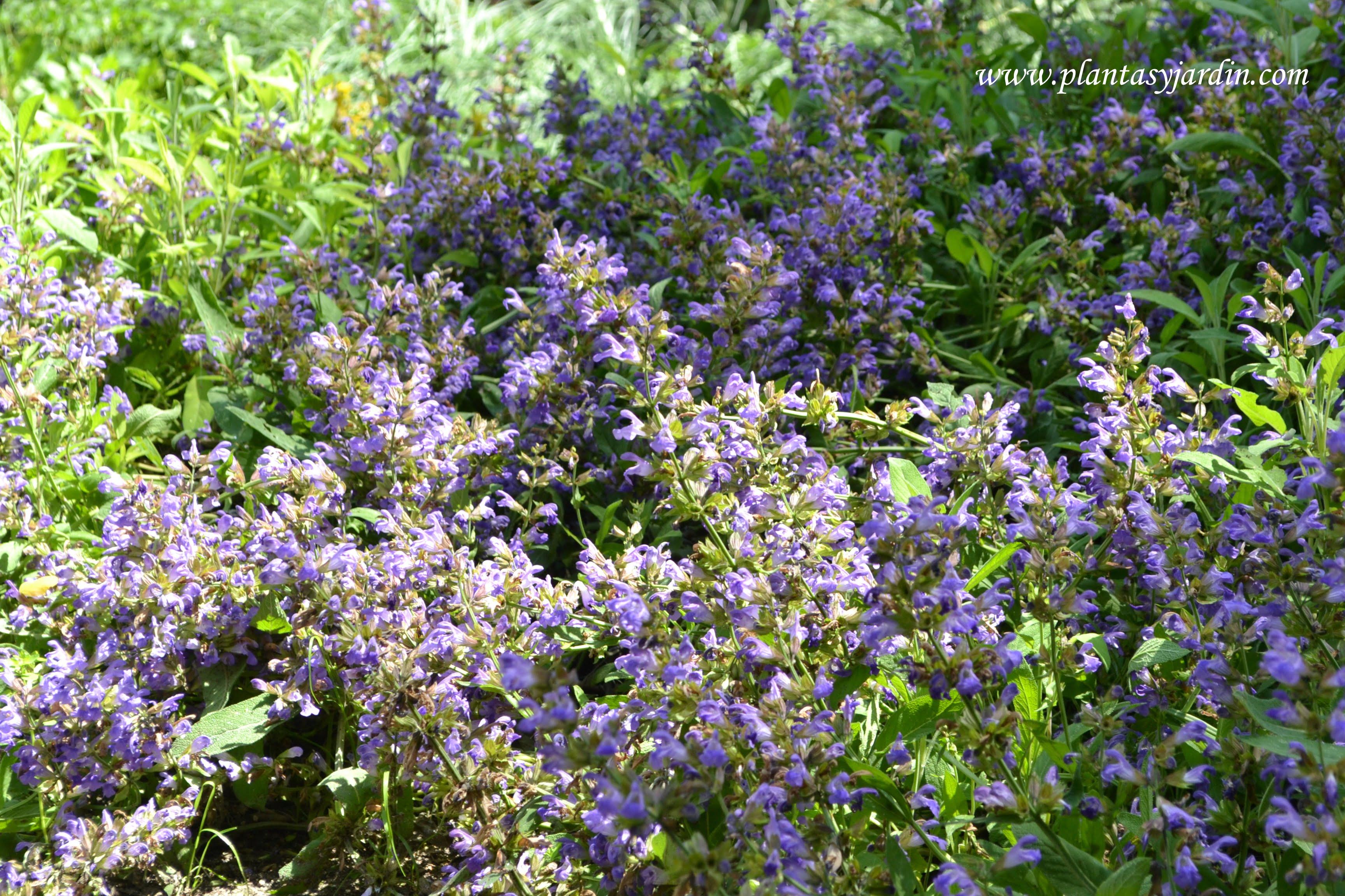 Arbustos perennes arom ticos plantas y jard n - Arbustos perennes con flor ...