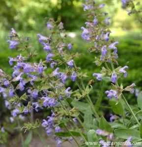 Salvia officinalis, detalle flores