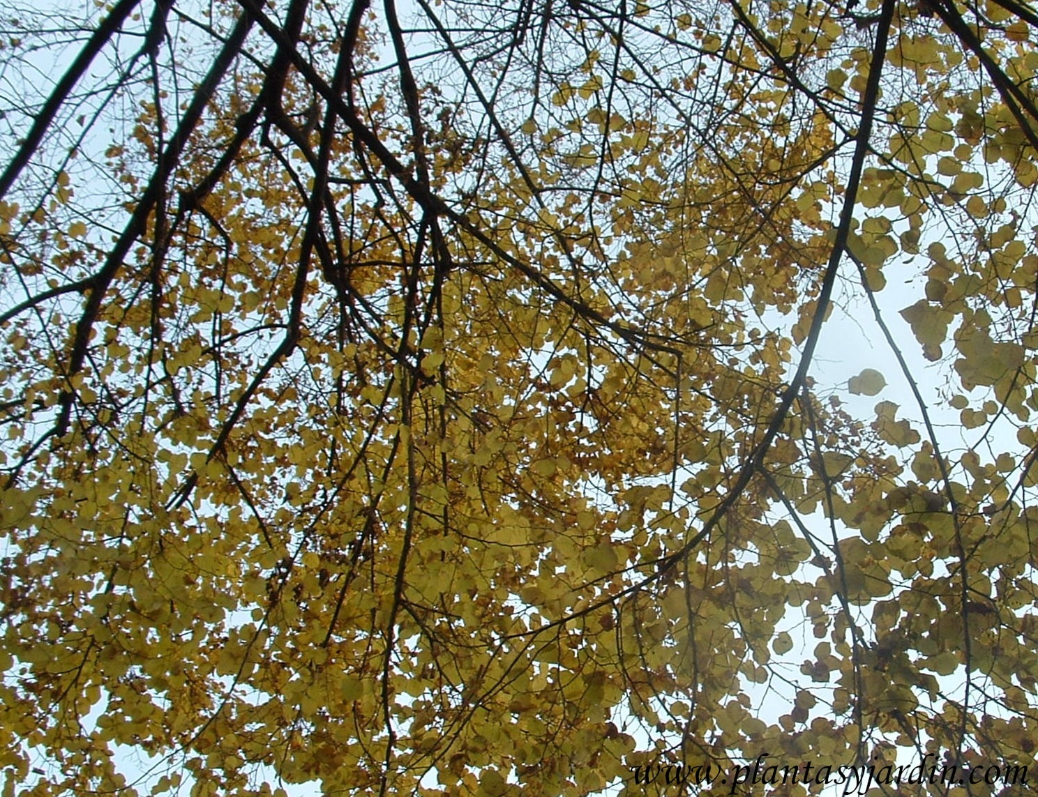 Tilia platyphyllos-Tilo, detalle de follaje color otoñal.