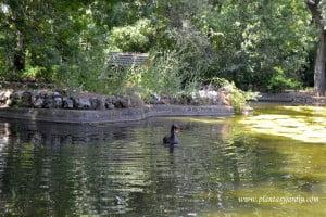 cisne negro en el Lago principal